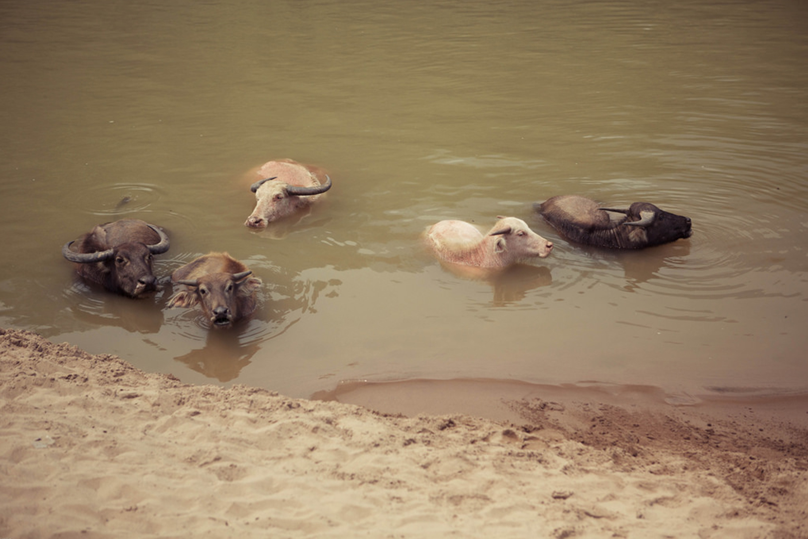 Water buffalo in the river